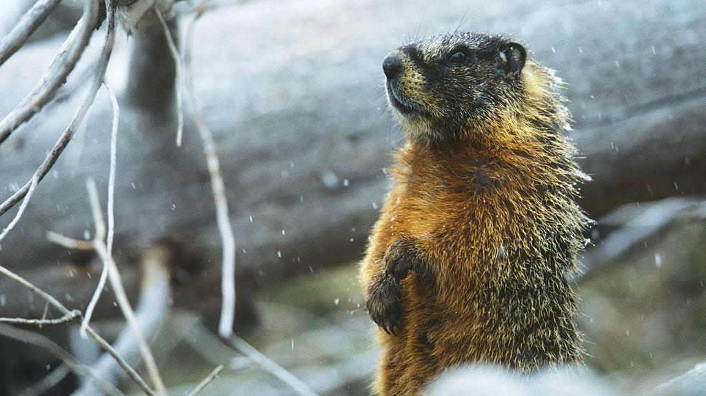 Yellow-bellied marmots, which used to