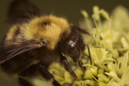 Climate change shrinking bumblebee habitat in Europe, North America: study