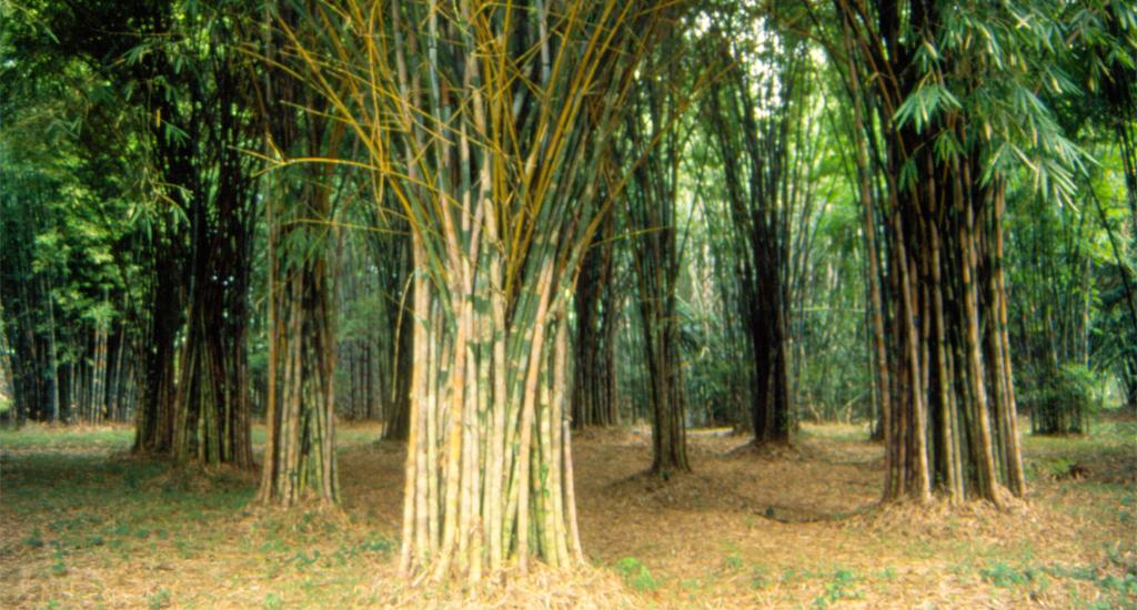 Bamboo liberation day