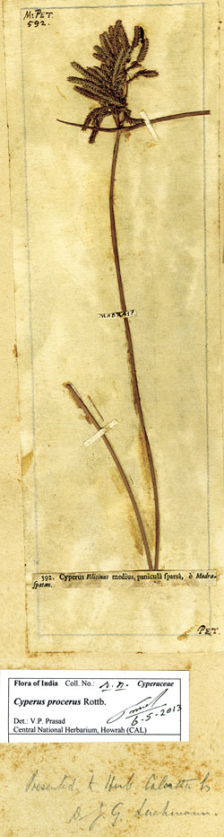 The 320-year-old sprig