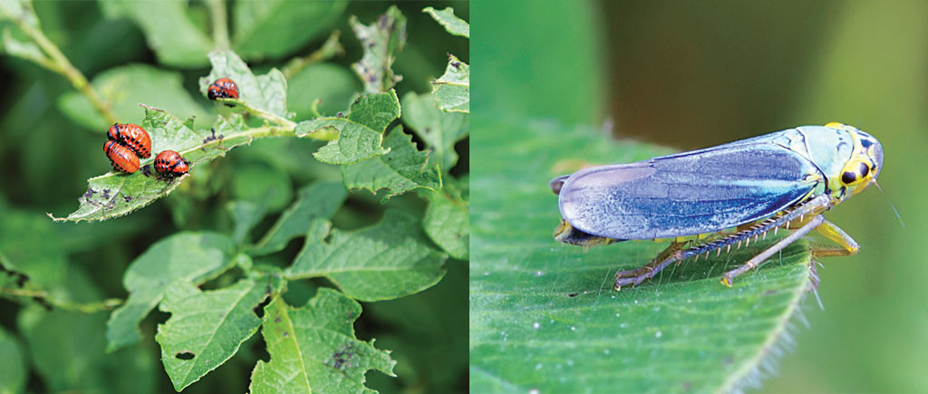 The potato beetle (above), originally from the US, invaded France in the 1950s and reached China in the 1990s. Leafhoppers (right), migratory pests, have been arriving 10 days earlier than normal on an average over the last 62 years (Photo: Thinkstock Photos)