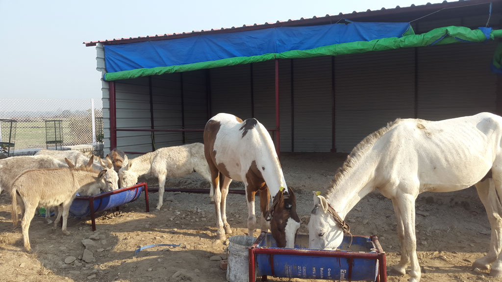 The Equine Retirement Center in Uttarakhand run by People for Animals has offered to take in Shaktimaan and care for him along with the other disabled and injured equines rejected from mining and Char Dham Yatras. (Credit: Gauri Maulekhi)