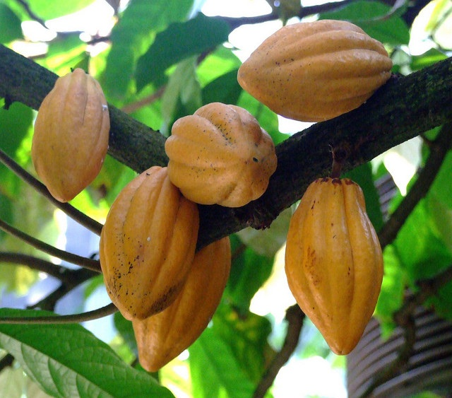 Cacao tree originated 10 million years ago: scientists