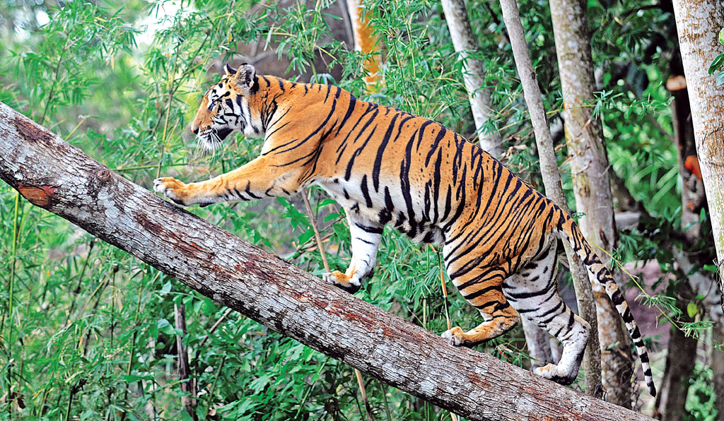 Despite being accorded the highest level of protection under the Wildlife Protection Act, 1972, wild animals, such as the tiger, are under threat if they venture out of the protected areas (Photo: Thinkstockphotos)
