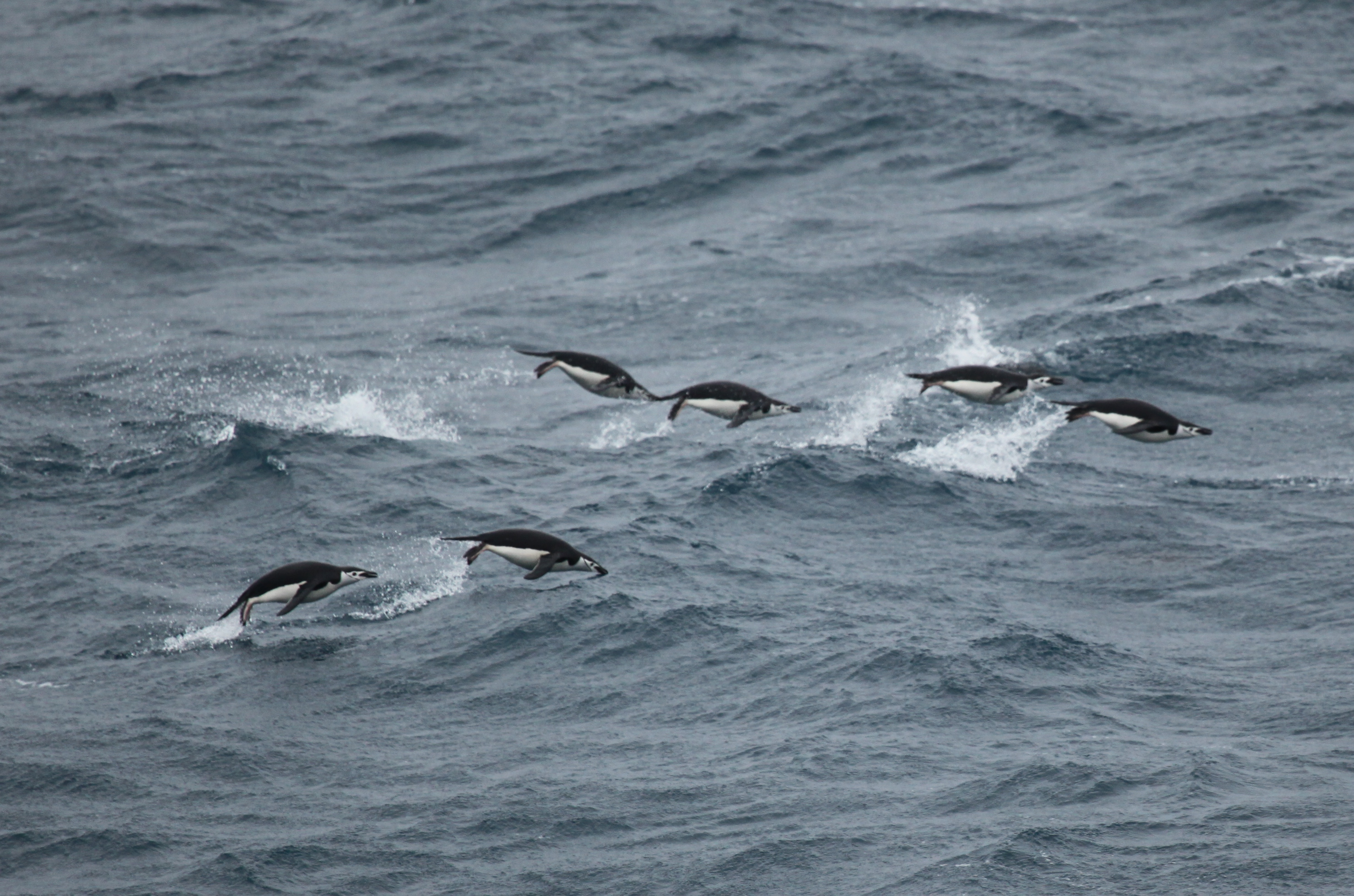 Chinstrap Penguins 'porpoising' in the Southern Ocean, near the South Orkney Islands.  Credit: Liam Quinn, Flickr