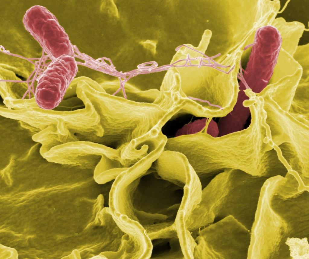 Salmonella bacteria Credit: Flickr