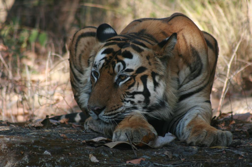 The Supreme Court has observed that development also counts, along with the need to conserve tigers Credit: Sunita Narain