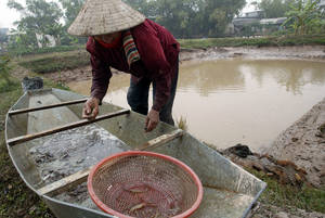 Shrimp aquaculture is mainly carried out by small-and medium-scale farmers in villages Credit:FAO/Hoang Dinh Nam