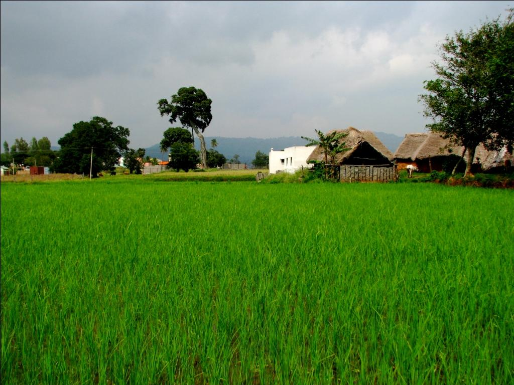 Paddy fields near the Yelagiri Hills, Vellore  Credit: Flickr