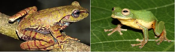 Ghatixalus magnus (left) and Raorchestes flaviventris found in the Western Ghats (Photos by special arrangement)