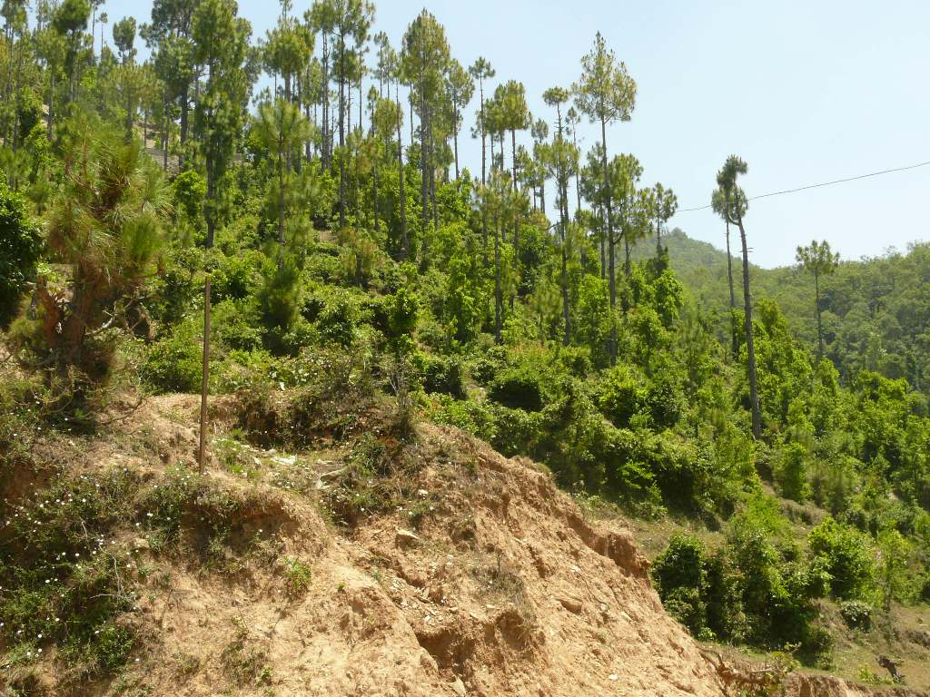 Pine saplings are invading degraded oak patches, making them vulnerable to future incidents of forest fire (Photo: Ghazala Shahabuddin)