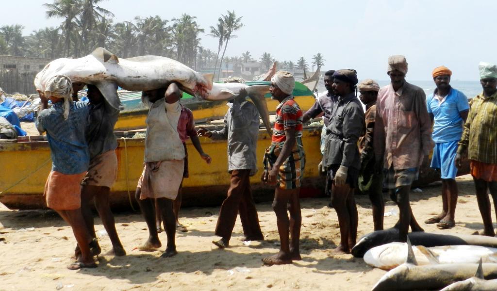 Fishermen carry a dead shark in Thoothoor, a coastal village in Tamil Nadu.  Credit: CMFRI