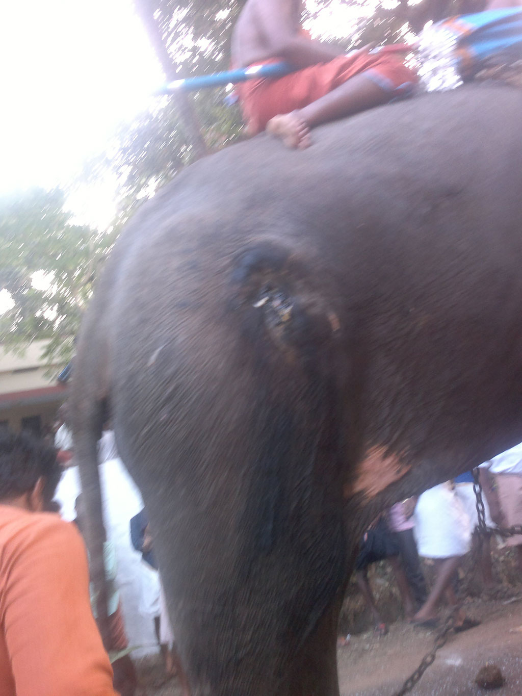 A wounded elephant being used in a temple procession in Kerala