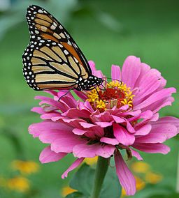 Monarch butterflies face risk of extinction due to habitat loss