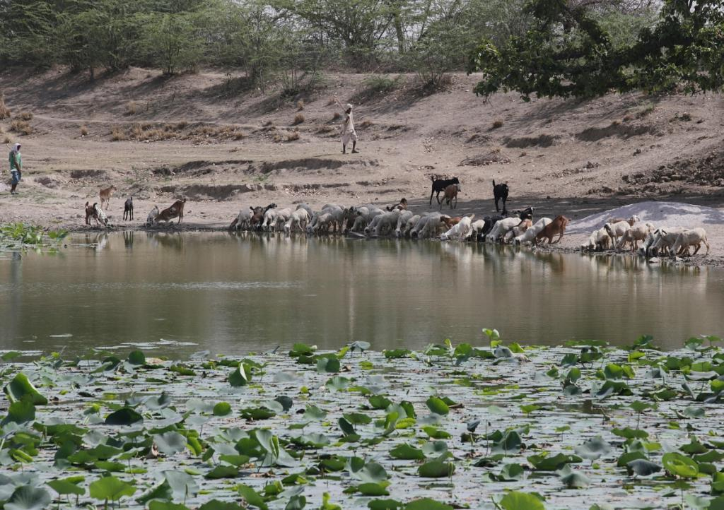 Goats drinking at a waterhole in Bundelkhand  Credit: Vikas Choudhary