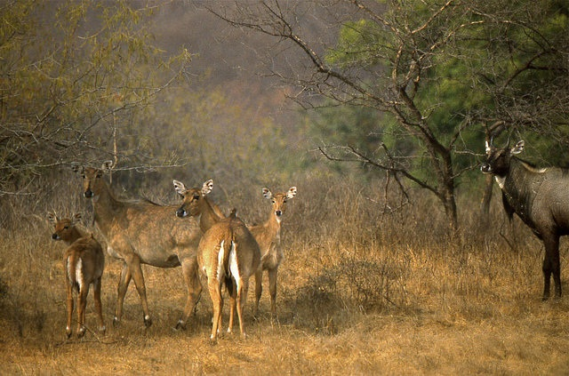 Declaring the nilgai as a vermin will offer some amount of relief to farmers