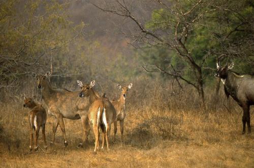 Nilgai, wild boar declared vermins in Bihar